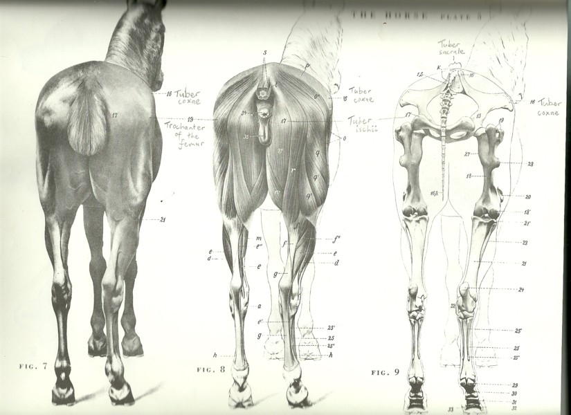 More lovely horse anatomy: The rear view | art2art
