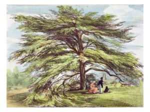 george-ernest-papendiek-the-lebanon-cedar-tree-in-the-arboretum-kew-gardens-plate-21